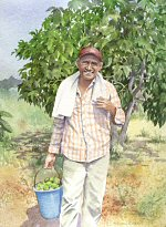 Harvesting Figs in Northern Cyprus